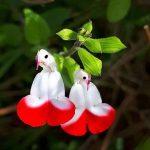 Mahameru or Arya flower