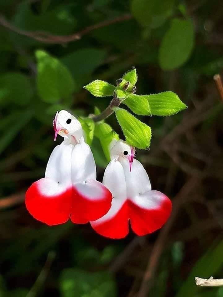 یہ کوئی پرندہ نہیں بلکہ مہامیرو یا آریہ کے پھول اور پودا ہے جو اگست میں ہر 400 سال بعد ہمالیہ میں آگتا ہے