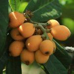 lokaat fruit benefits