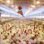How to start a Chicken Poultry farm Business From Scratch in Urdu